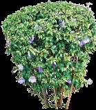 (THER) Thunbergia erecta