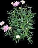 (ARFR2) Argyranthemum frutescens ´Pomponette Pink`´