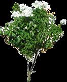 (PLPU) Plumeria pudica