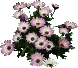 (OSEC6) Osteospermum ecklonis ´Rosita´