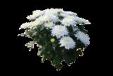 (DEGR30) Dendranthema grandiflorum ´Willowbrook´
