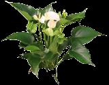 (ANAN16) Anthurium andraeanum ´White Champion´