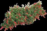 (ACCH) Acalypha chamaedrifolia
