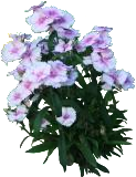 (DICH3) Dianthus chinensis ´Little Jock´