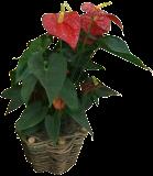 (ANAN7) Anthurium andraeanum ´Anthbnzl´