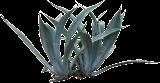 (AGAM2) Agave americana subsp. protoamericana