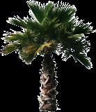 (WARO) Washingtonia robusta
